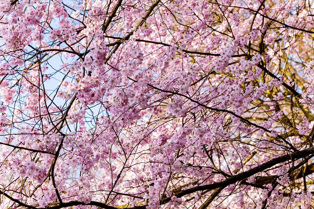 How To Prune A Cherry Tree Cherry Tree Pruning Australia